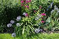 Agapanthus in Walled Garden of Parham House, West Sussex, England.jpg