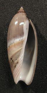 <i>Agaronia</i> genus of molluscs