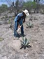 Agaves for erosion control (7186336921).jpg