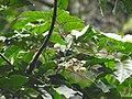 Aglaia canarana Andiparai DSCN0461.JPG