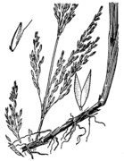 Agrostis pallens drawing.png