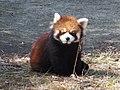 Ailurus fulgens in Akita Omoriyama Zoo 20170326b.jpg