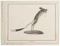 Alactaga tetradactyla - 1700-1880 - Print - Iconographia Zoologica - Special Collections University of Amsterdam - UBA01 IZ20500007.tif