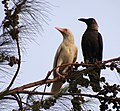 Albino crow and its mother.JPG