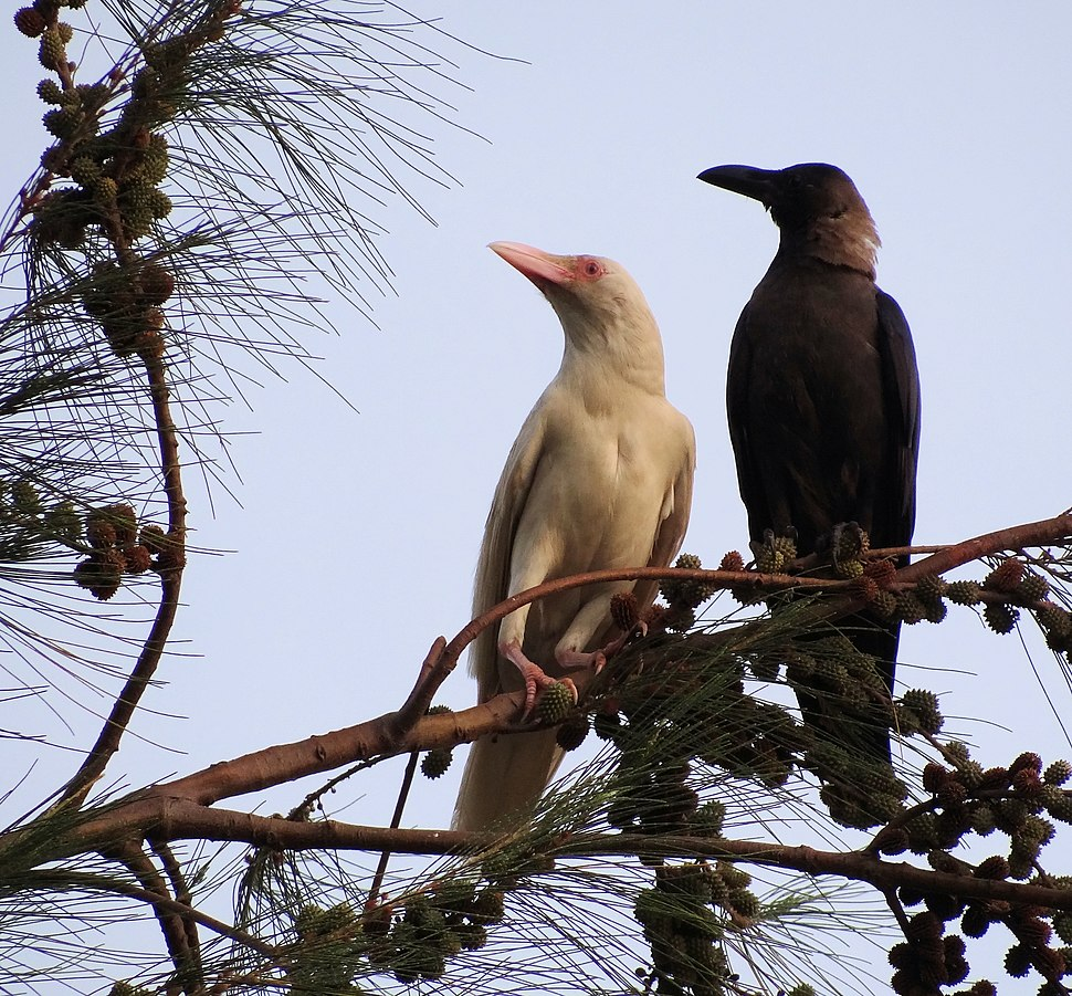 Albino crow and its mother