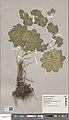 Alchemilla acutiloba herbarium (04).jpg