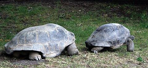 Aldabra mating 9.JPG