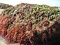 Algae Imabassai3.jpg