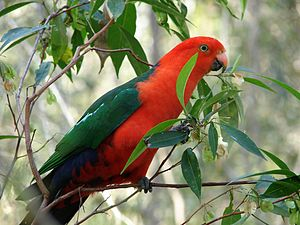 English: Australian King Parrot (Alisterus sca...