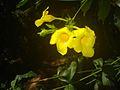Allamanda cathartica flowers 9.JPG