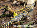 Alligator Baby 6.jpg