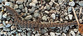 Alligator Lizard dropped tail.jpg