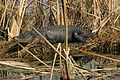 Alligator alligator mississippiensis sunning itself.jpg