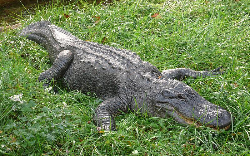 Alligators In Virginia Beach