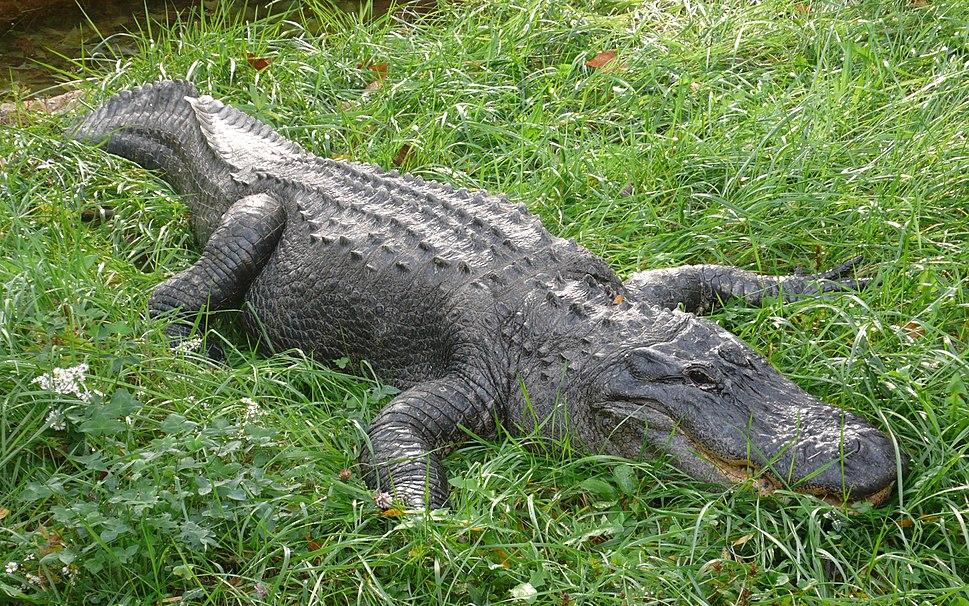 Alligator mississippiensis (1),