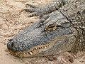 Alligator mississippiensis - Oasis Park - 07.jpg
