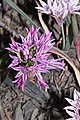 Allium crenulatum 5224.JPG