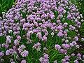 Allium schoenoprasum 001.JPG
