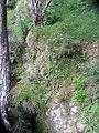 Allium triquetrum L. (AM AK328306-4).jpg