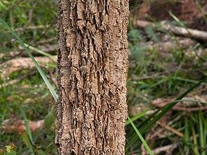 Allocasuarina decussata - Bark of a young A. decussata in the Walpole-Nornalup National Park.