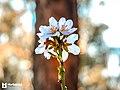 Almond tree flower blossoming.jpg