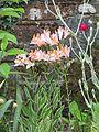 Alstroemeria ligtu Spring Delight - Flickr - peganum.jpg