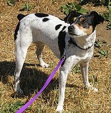 tricolor rat terrier