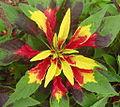 Amaranthus tricolor Perfecta (4444686145).jpg