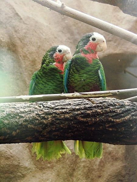 Beloglavi (Kubanski) Amazonac 450px-Amazona_leucocephala_%28Wroclaw_zoo%29