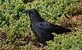 American Crow (45571525092).jpg
