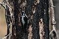 American Three-toed Woodpecker Signal Burn Gila NF NM 2017-10-18 09-01-33-2 (39043005902).jpg