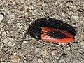 Ampedus sanguinolentus 01.JPG