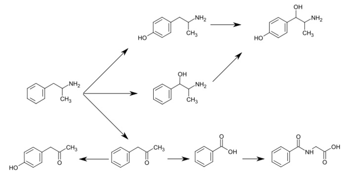 Graphic of several routes of amphetamine metabolism