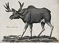 An elk. Etching by Heath. Wellcome V0021211.jpg