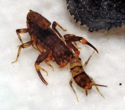Ananteris solimariae feeding on cricket.jpg