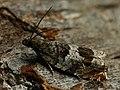 Ancylis achatana (40543471444).jpg