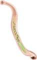 Ancylostoma duodenale (01).png
