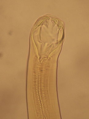 Description de l'image Ancylostoma duodenale boca.jpg.