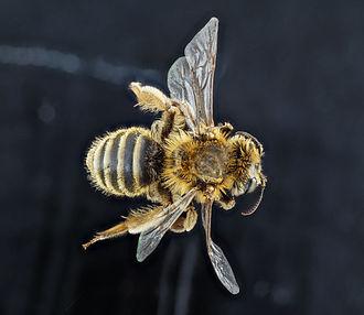 Andrena - Image: Andrena accepta
