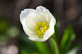 Anemone sylvestris (6963830106).jpg