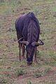 Animals at Pilanesberg National Park 12.jpg