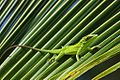Annolis baracoae on palm leaf.jpg