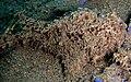 Antennarius striatus 1.jpg