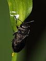 Anthaxia quadripunctata ? (Buprestidae) (7663241196).jpg
