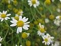 Anthemis cotula inflorescence (09).jpg