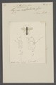 Anthobosca - Print - Iconographia Zoologica - Special Collections University of Amsterdam - UBAINV0274 043 03 0014.tif