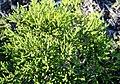 Anysboegoe herb - Agathosma cerefolium - South Africa 3.jpg