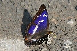 Apatura iris Weinsberg 20080618 3.jpg