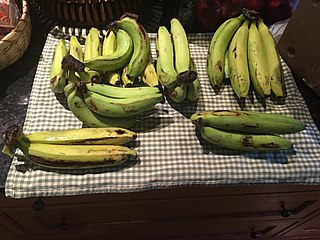 Gros Michel banana Banana cultivar