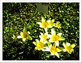 April Tulpe Freiburg Botanischer Garten - Master Botany Photography 2013 - panoramio (2).jpg